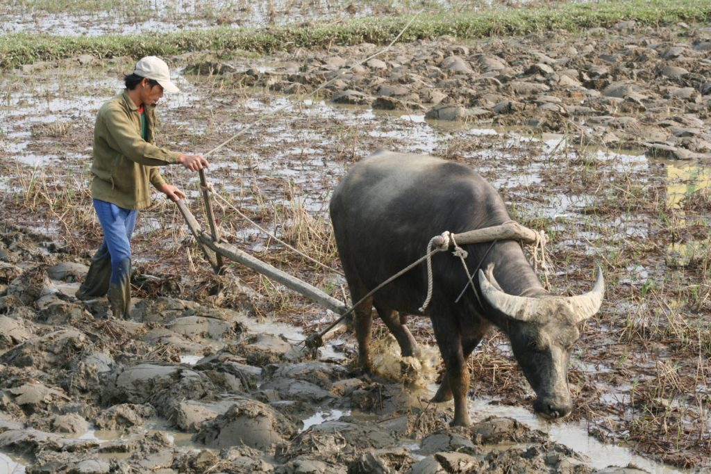 Waterbuffel met ploeg